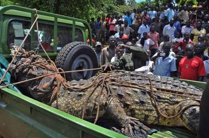 Uganda crocodile: Killer reptile caught in Kakira, Jinja