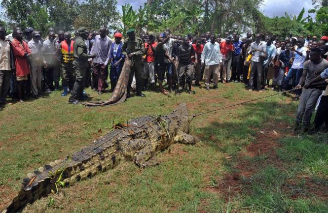 This picture taken on March 31, 2014 shows residents of the Kakira village, in the Jinja District of eastern Uganda, gathering to look at a crocodile after it was captured by Uganda Wildlife Authority (UWA) staff. AFP PHOTO / Peter BUSOMOKEPETER BUSOMOKE/AFP/Getty Images